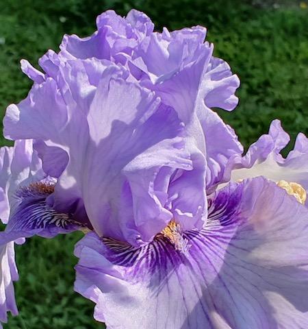 Merveilleux iris