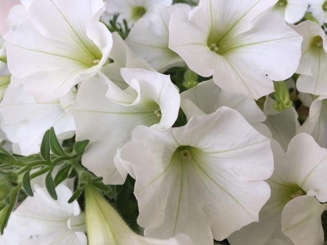 fleurs blanches petunia