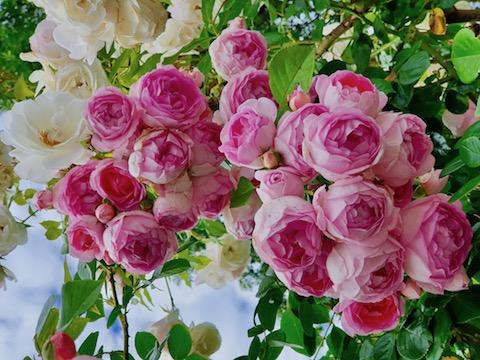 Merveilleuses roses
