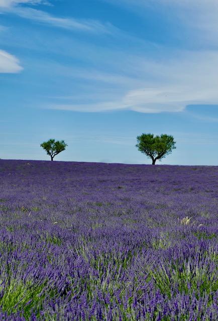 Provence lavande